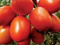 kilele f1 for open field farming Tomato anna f1 (hybrid tomato anna) during land preparation, 8 tons of farm yard manure per acre can well in open field the fruit is deep red, firm and oval.