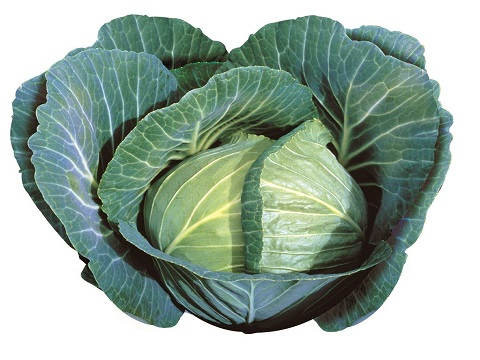 Quisor cabbage open field